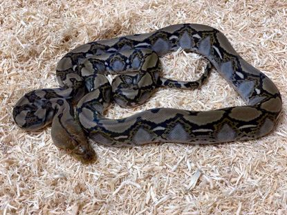 Picture of Dwarf Classic Reticulated Python