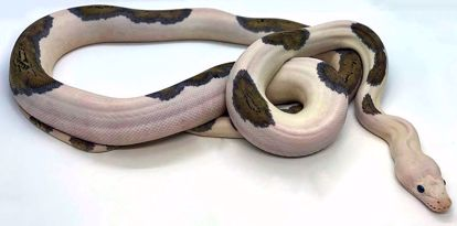 Picture of Tiger Pied Pos Platinum Citron Male